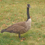 Canadian Goose by TVS