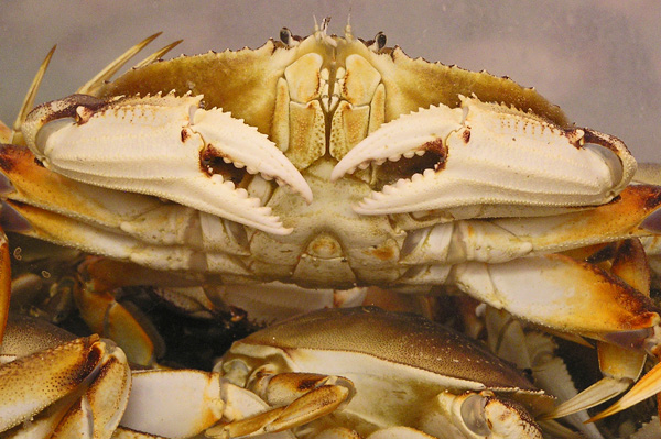Dungenee Crab by TVS