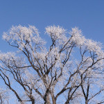 Frosted Trees by TVS