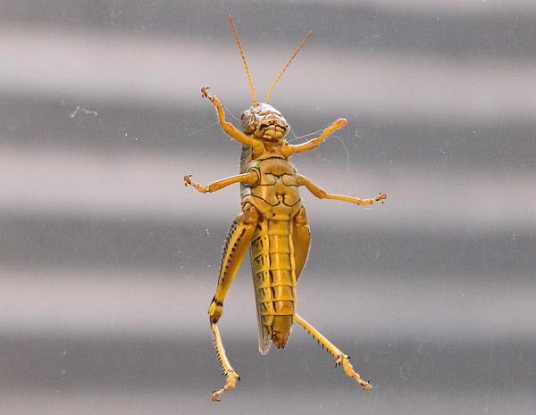 Grasshopper- Underbelly by TVS