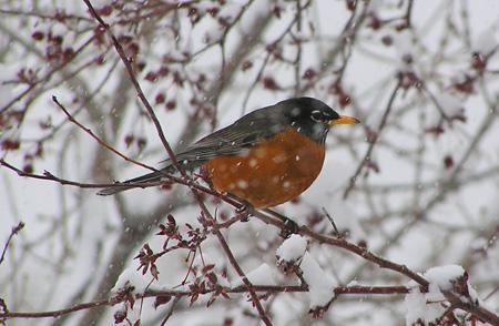 Robin in Snowy Tree 2013 by TVS